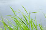 Europa, DEU, Deutschland, Nordrhein-Westfalen, Niederrhein, Wachtendonk, Fluss Niers, Aue, Auenlandschaft, Ufer, Gras, Regentropfen, Natur, Umwelt, Landschaft, Jahreszeiten, Stimmungen, Landschaftsfotografie, Landschaften, Landschaftsphoto, Landschaftsphotographie, <br /> <br /> [Fuer die Nutzung gelten die jeweils gueltigen Allgemeinen Liefer-und Geschaeftsbedingungen. Nutzung nur gegen Verwendungsmeldung und Nachweis. Download der AGB unter http://www.image-box.com oder werden auf Anfrage zugesendet. Freigabe ist vorher erforderlich. Jede Nutzung des Fotos ist honorarpflichtig gemaess derzeit gueltiger MFM Liste - Kontakt, Uwe Schmid-Fotografie, Duisburg, Tel. (+49).2065.677997, ..archiv@image-box.com, www.image-box.com]