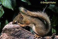 MA07-018z  Red Squirrel - looking in tree cavity - Tamiasciurus hudsonicus