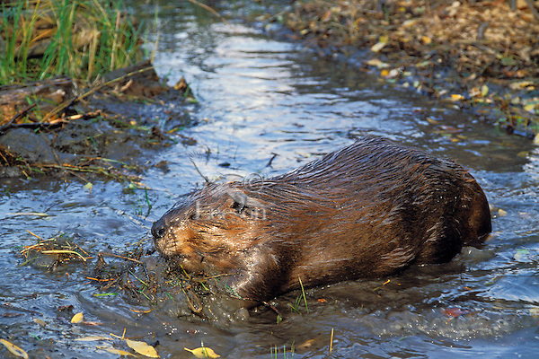 American Beaver (Castor Canadensis) pushing mud it has dug while digging a canal between pond and the trees it hopes to cut for winter food.