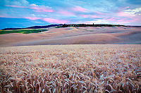 Sunset and wheat field. The Palouse, Washington
