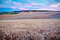 Sunset and wheat field. The Palouse, Washington