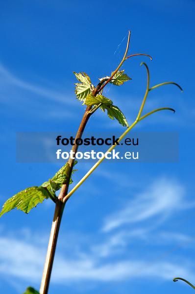 junger Weintrieb vor blauem Himmel