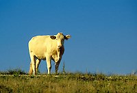 White cow standing in a blue sky