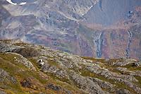 Mountain goats, Kenai Fjords National Park, Kenai mountains, Kenai Peninsula, southcentral, Alaska.