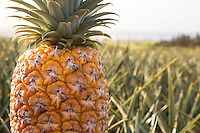 A close-up of a pineapple in a field, North Shore, O'ahu