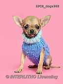 Xavier, ANIMALS, REALISTISCHE TIERE, ANIMALES REALISTICOS, dogs, photos+++++,SPCHDOGS982,#A#