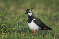 Northern Lapwing, Vanellus vanellus, National Park Lake Neusiedl, Burgenland, Austria, April 2007