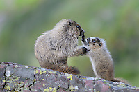 Hoary Marmot (Marmota caligata) adult with young one , Glacier National Park, Montana.  Summer.