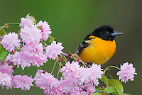 Male Baltimore Oriole or Northern Oriole (Icterus galbula) on flowering tree branch.<br /> Great Lakes Region, Spring.