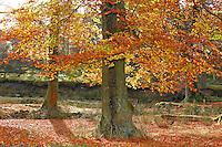 Autumn leaves and woodland, Trough of Bowland, Lancashire. Beech...Copyright John Eveson 01995 61280..j.r.eveson@btinternet.com