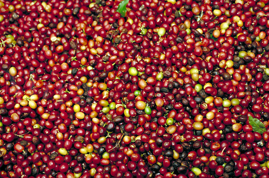 Ripe Kona coffee cherries; Bayview Farm; Honaunau, Hawaii. Kailua-Kona Hawaii USA Big Island.