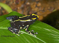 1023-07tt  Dendrobates tinctorius ñ Dyeing Poison Arrow Frog ñ Tincs Dart Frog © David Kuhn/Dwight Kuhn Photography