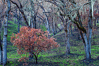 Arctostaphylos, Manzanita burned native shrub under ghostly charred Oak trees; Fire damage and recovery from Nuns fire October 2017, Sonoma Regional Park, California