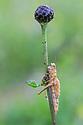 Grasshopper {Acrididae} killed by entomopathogenic fungus. Nordtirol, Austrian Alps, Austria, July.