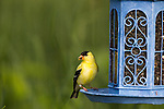 American goldfinch on a backyard bird feeder