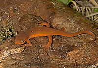 "0612-07zz  Red-spotted Newt ""Elf Stage (Land Form)"" - Notophthalmus viridescens © David Kuhn/Dwight Kuhn Photography"
