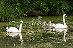 Mute swan male and female adults with 3 cygnets