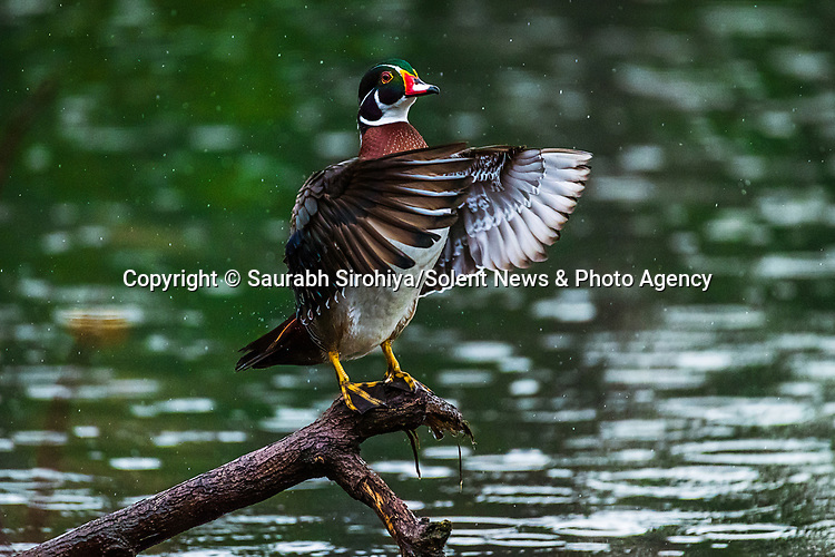 """A beautifully coloured American wood duck has been spotted almost 10,000 miles away from its native home in North America, swimming in a pond in the city of Howrah, in West Bengal, India. <br /> <br /> The pictures were taken by photographer Saurabh Sirohiya in the neighbourhood of Bally in India. <br /> <br /> The 34 year old said """"India has many native ducks, such as Lesser Whistling Duck, Ruddy Shelduck, Northern Shoveler. However the American wood duck is certainly not one of them!""""<br /> <br /> """"It is such a beautiful colour, however how it got here is not yet known. Someone may have brought it over as a pet, we don't know.""""<br /> <br /> Please byline: Saurabh Sirohiya/Solent News<br /> <br /> © Saurabh Sirohiya/Solent News & Photo Agency<br /> UK +44 (0) 2380 458800"""