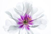 Close up of Oriental Poppy Flower