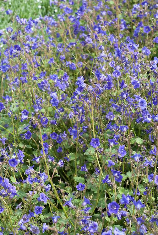 Blue flowers of annual Phacelia viscida 'Tropical Surf'