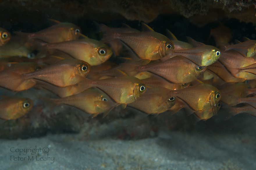 A polarized school of Glassy Sweepers under a ledge.