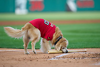Rochester Red Wings Milo the Bat Dog during a game against the Worcester Red Sox on September 4, 2021 at Frontier Field in Rochester, New York.  (Mike Janes/Four Seam Images)