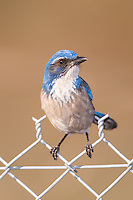 Western Scrub-Jay (Aphelocoma californica) perching on a fence at Santee Regional Park, Santee California.