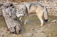 Grey Wolf lifting up its head after drinking from a pond - CA