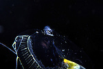 Jellyfish, Aequorea with Fish, with amphipods, hyperiids,Oxycephalus Amphipod
