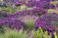 Schizachyrium scoparium, Little bluestem grass with Aster novae-angliae 'Purple Dome' and Sedum 'Neon' in Colorado prairie garden; Scripter garden, design Lauren Springer Ogden