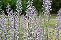 Delphinium requienii, mid June.