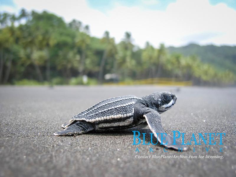 leatherback sea turtle hatchling, Dermochelys coriacea, runs to sea, Dominica, Lesser Antilles aka Caribbees, Caribean Sea, Atlantic Ocean