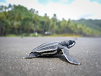 leatherback sea turtle hatchling, Dermochelys coriacea, runs to sea, Dominica, Lesser Antilles aka Caribbees, Caribean Sea, Atlantic Ocean