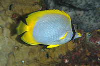 Spotfin butterflyfish in the Gulf of Mexico. Spotfin butterflyfish, Chaetodon ocellatus, Gulf of Mexico, stetson bank, off Texas, south, USA, united states