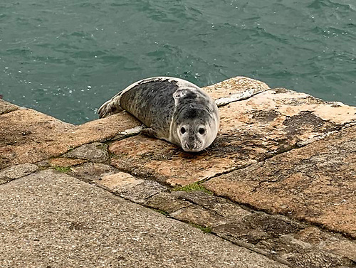 Harbour seals at Dun Laoghaire harbour
