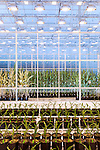 September 9, 2014. Research Triangle Park, North Carolina.<br />  Corn in different grow rooms within the large greenhouse are given different nutrients and amounts of light to monitor the effects of each environment.<br /> The Syngenta Advanced Crop Lab is nearly one acre of advanced agricultural research under glass. The lab is capable of maintaining many different environments under its roof, allowing scientists to test the effects of various environmental elements on different crops and plants side by side.