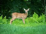 White tailed female doe deer yearling.