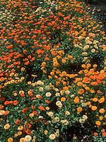 Calendula 'Pacific Beauty' trials (GR6172), mixture, pot marigolds varieties of colors, orange, yellow, cream, annual flowers, edible flowers