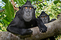 Adult male Sulawesi or Celebes crested macaque or Sulawesi or Celebes black macaque (Macaca nigra)(known locally as yaki or wolai) resting in forest. Tangkoko National Park, Sulawesi, Indonesia.