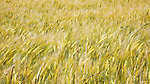 Field of golden ripe barley blows in wind.  Ebey's Prarie, Whidbey Island, Washington