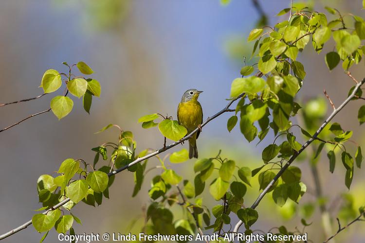 Nashville warbler in northern Wisconsin.