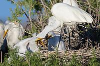 Great Egret (Ardea alba) regurgitating fish for chick at the nest. Lake County, Oregon. July.