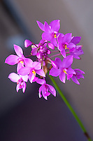 Purple ground orchid  outside the front door.