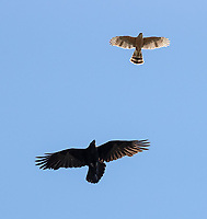 A Cooper's Hawk and Common Raven took turns chasing each other.