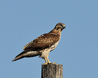 Red-tailed Hawk, South Texas