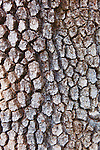 Bark of an aging Coastal Oak.  Along the magnificent Big Sur California coastline the Pacific Ocean washes steep cliffs and sea stacks, rock arches and sandy coves in a dramatic  seascape along California State HIghway 1 between Monterey and San Luis Obispo, California on the Central Coast.