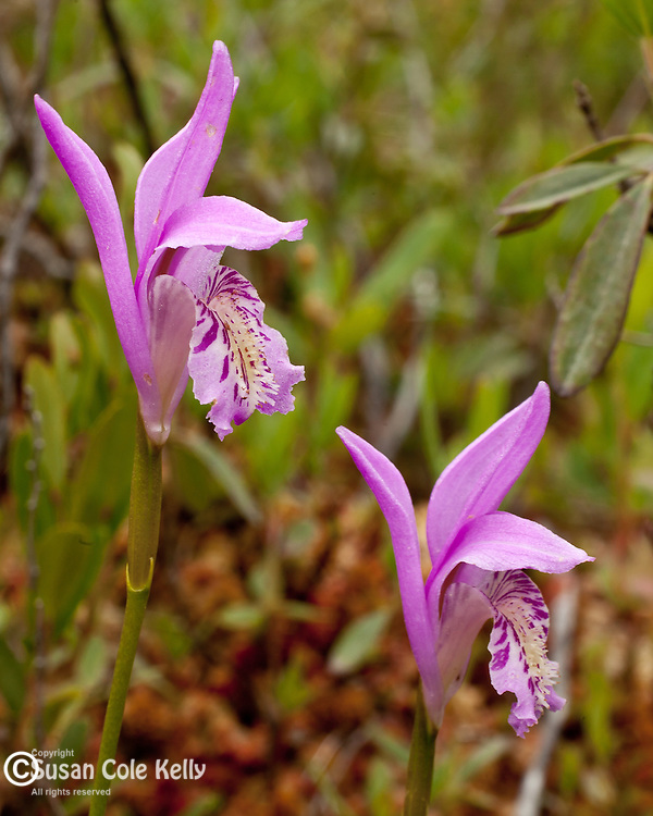 Dragon's Mouth orchids (Arethusa Bulbosa) preserved by the Frenchman Bay Conservancy in Hancock County, ME, USA