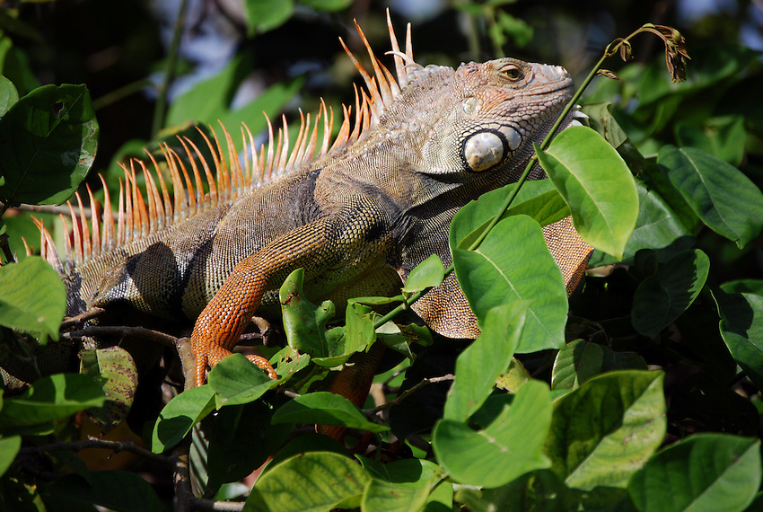 Iguana -  Hugh Taylor Birch State Park, Ft Lauderdale
