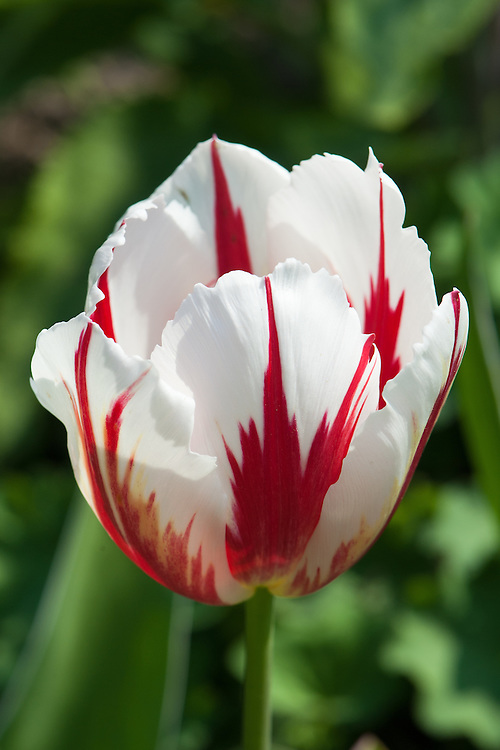 Tulip 'Happy Generation' (Triumph Group), late April. First introduced in 1988.