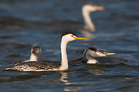 Adult Clark's Grebe (Aechmophorus clarkii) in breeding plumage with two chicks. Malheur County, Oregon. September.